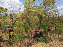 Woodlot in Malawi
